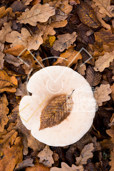 Autumn theme image showing a leave of beech that fell exactly on a mushroom