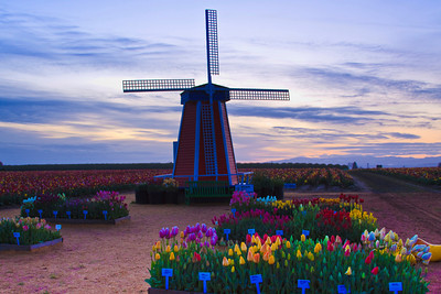 Sunrise at Wooden Shoe Tulip Farms