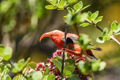 Hawaii Birds