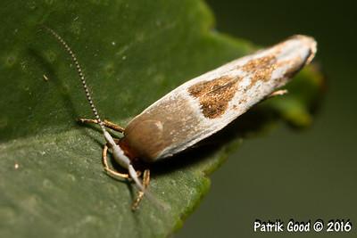Redbrain Curved-horn Moth