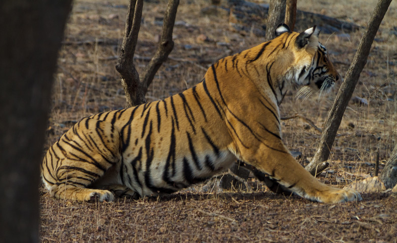 A Bengal tiger (Panthera tigris tigris) in Ranthambore National Park in  Rajasthan, India, appears to snarl or yawn