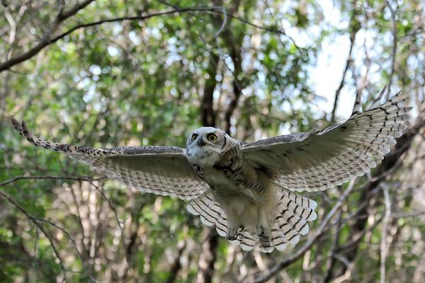 """Fluffy"" The Owl"