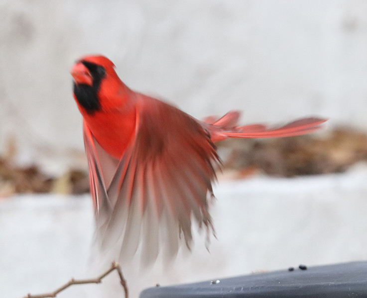Cardinal in motion