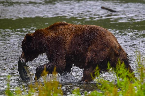 8-07-14 Grizzly Bear Called Dog Bear