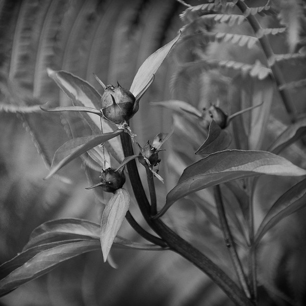 Peony Buds (Black & White)