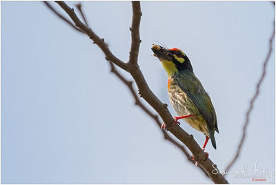 Thailand - Barbets