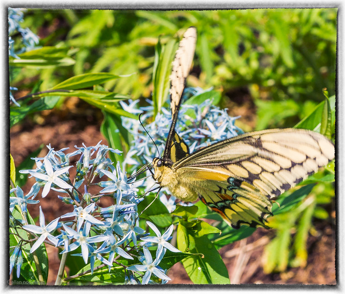 SwallowTail Butterfly at Whitehouse Perennials