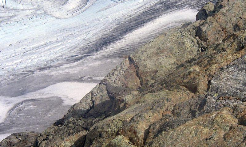 Ptarmigan camoflauged against the rock.