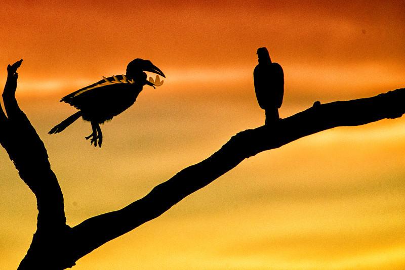 Serengeti_12_2013_Hornbill_5_FH0T7946.jpg