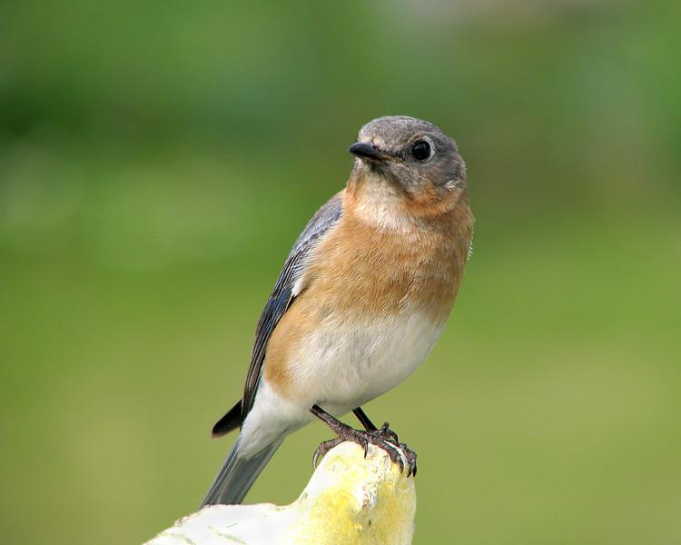bluebird_9152.jpg