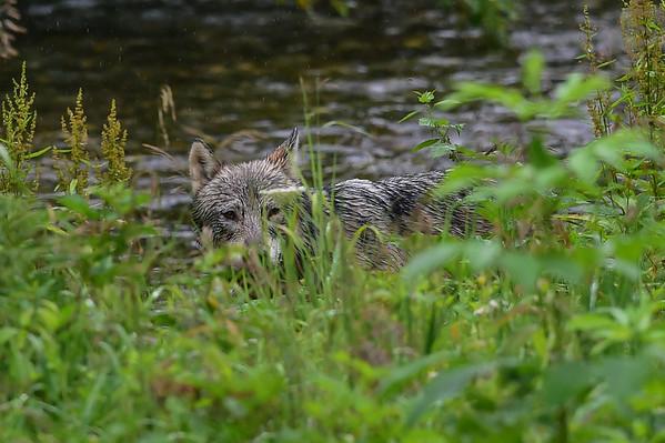 8-07-14 Wolf Hyder Alaska