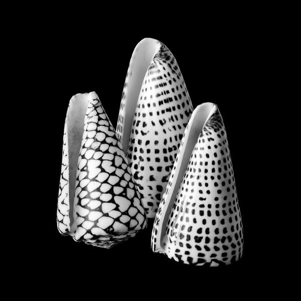 Alphabet Cone shells Conus Spurius