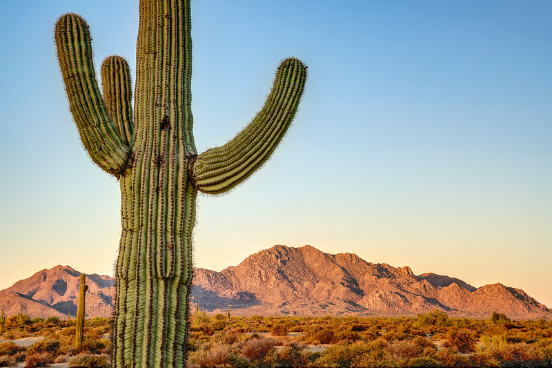 Saguaro Cactus and McDowell Mountains at Sunrise