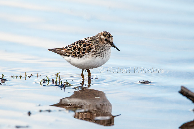 Least Sandpiper, Calidris minutilla, La Plata County, Colorado, USA, North America