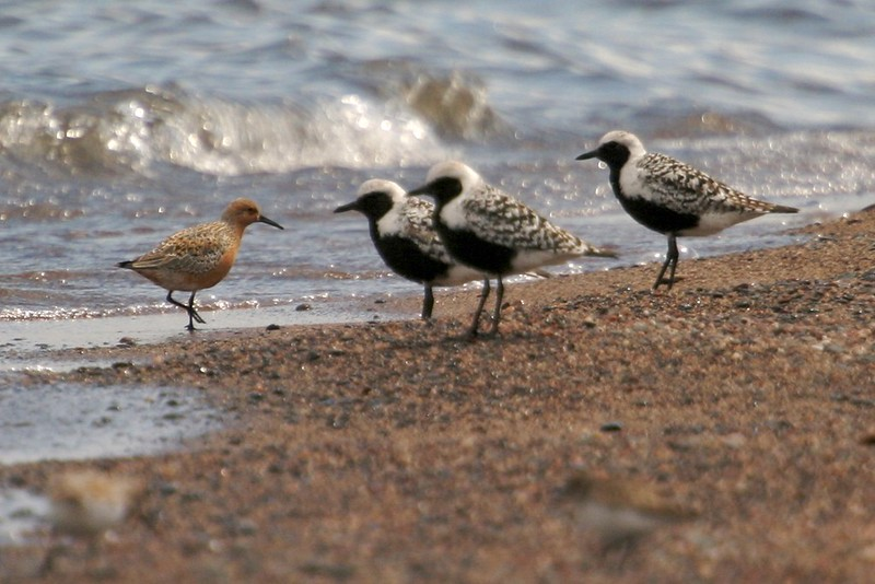 The Red Knot has been declining due to overharvesting of horseshoe crabs on the Atlantic Coast. They depend on their eggs to fuel their spring migration to the arctic [May; Park Point, Duluth, Minnesota]