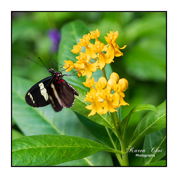 sm Black Butterfly Yellow Flower.jpg