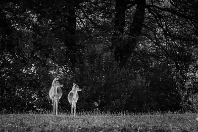 2019 - Deer at Knole Park November 009-2