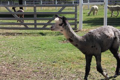 Alpaca Farm 2012