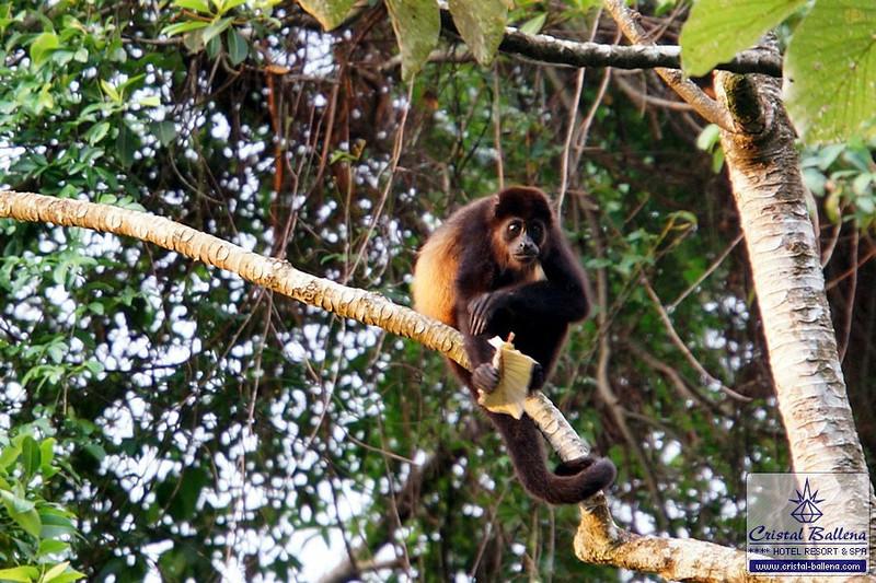 Nature-howler-monkey-DSC03227a_0600px-wm.jpg