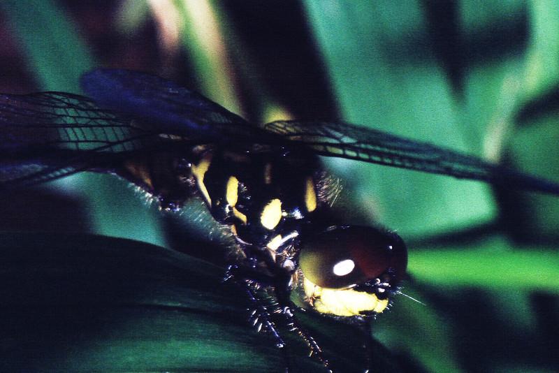 Nesogonia blackburnii (Odonata : Libellulidae); West Maui
