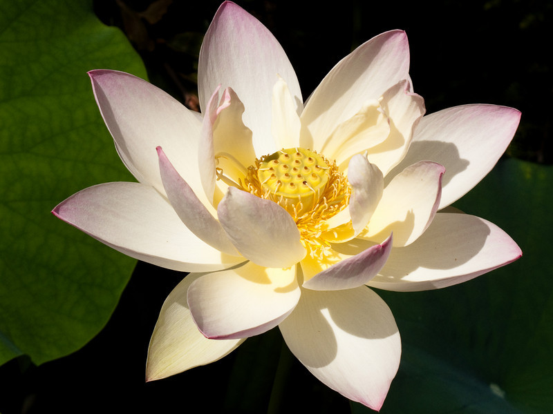 Yet Another Lotus