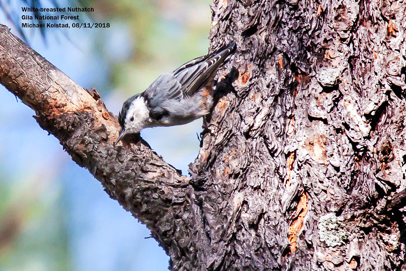IMG_7705 4T White-breasted Nuthatch Cherry Creek Campground Gila NF.jpg