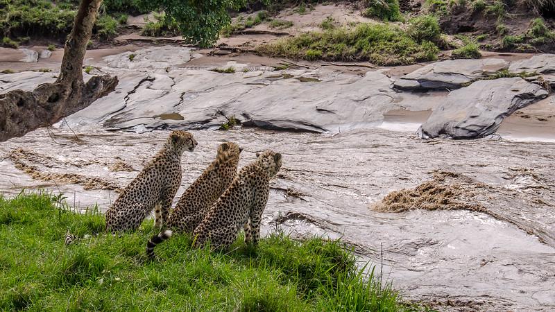 Cheetahs-0209.jpg