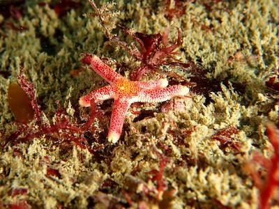 Linckia columbiae (fragile star)