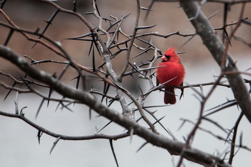 3.10.19 - Blackburn Creek Fish Nursery: Northern Cardinal