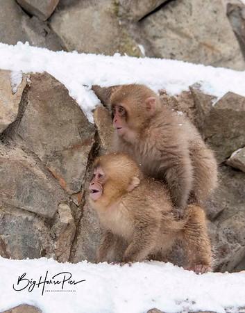 Snow Monkeys - Japan