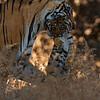 Tigress carrying her cub