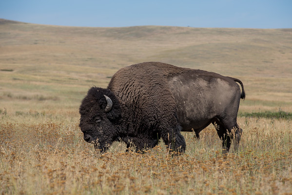 More NBR bison and Visitor Center pictures