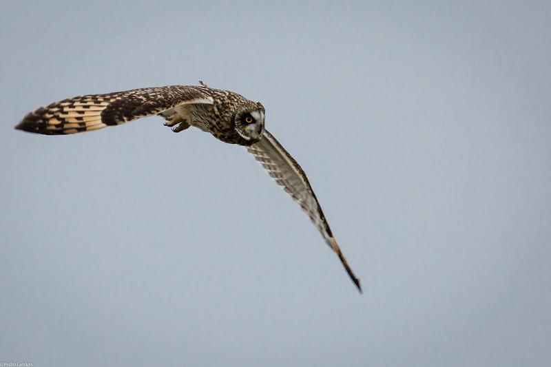 Short Eared Owl 1.jpg