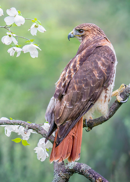 s 5x7 Red Tailed Hawk With Spring Flowering Dogwood Blossoms.jpg
