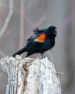 Blackbirds, Orioles, & Jays