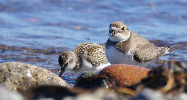Mixed Sandpipers