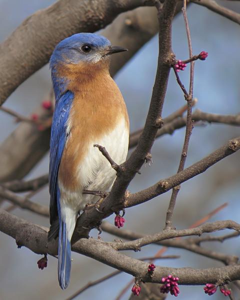 sx50_bluebird_bit_ben_355.jpg