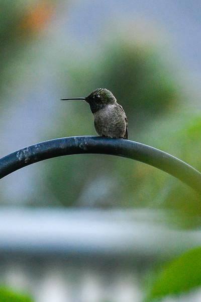 21MayHummingbirds (42 of 53).jpg