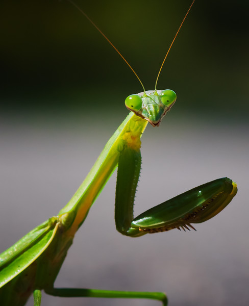 Mantis Out for a Stroll