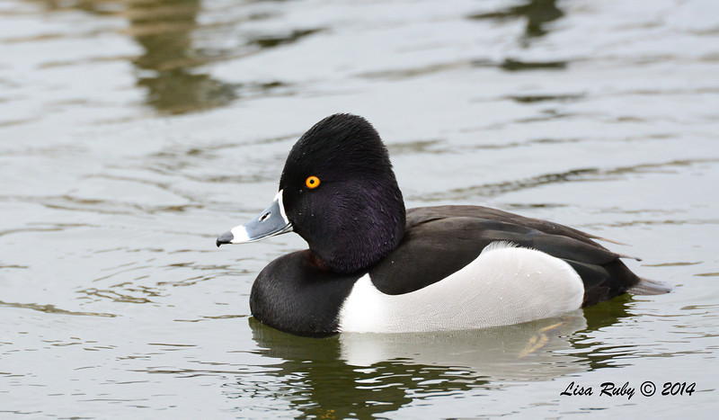 Ring-necked Duck - 3/2/14 - Birding 100 San Diego Bird Festival