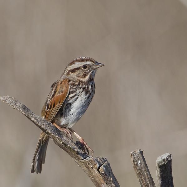 Song Sparrow - Cascade Ranch, San Mateo County, CA, USA