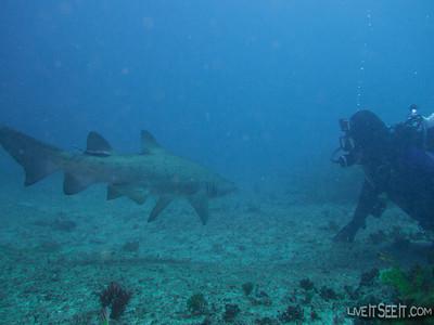 Grey Nurse Shark Dive - Magic Point, Sydney