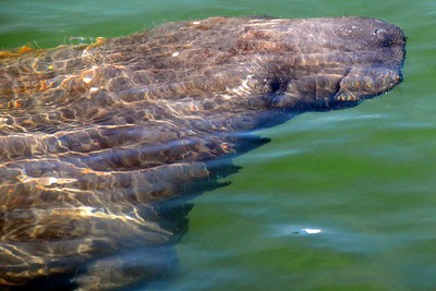 A lonely manatee off Key West, Florida.