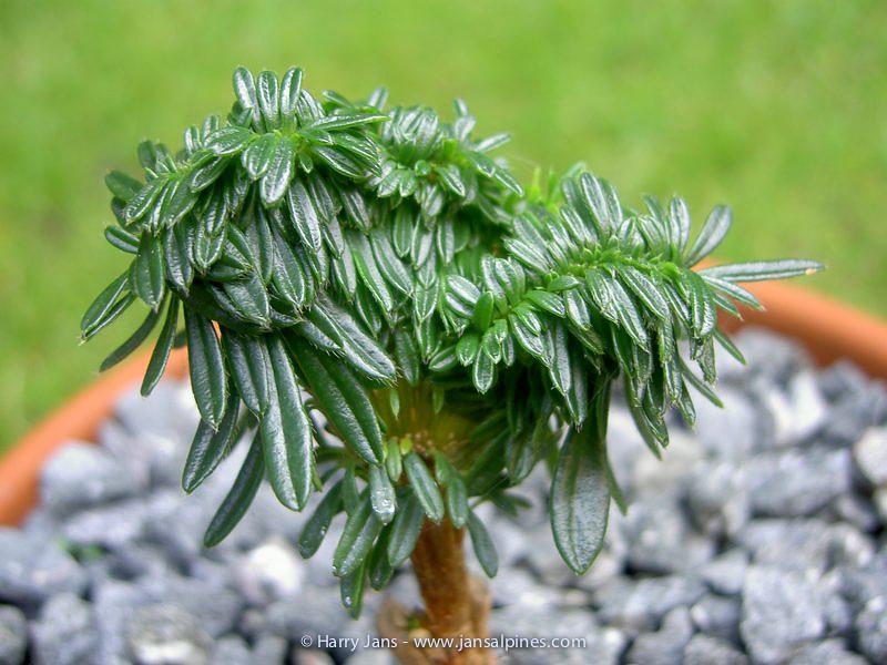 Daphne arbuscula f. platyclada