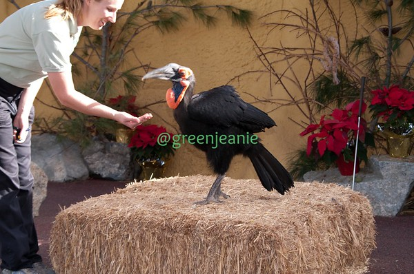 Delilah the Southern Ground Hornbill ~ San Diego Zoo