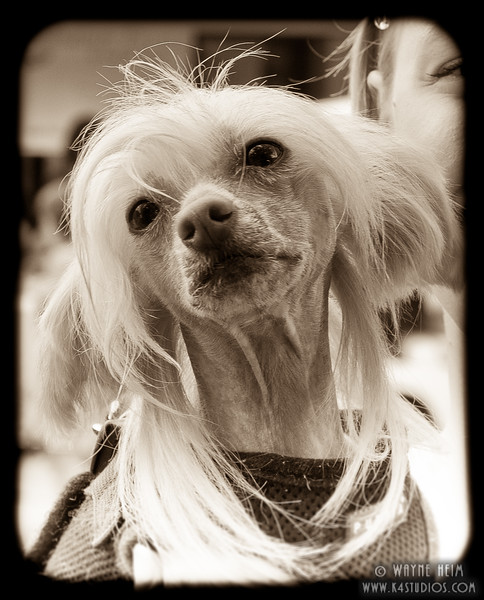 Chinese Crested - Black & White Photography by Wayne Heim