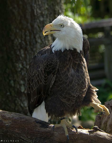 eagle_lowery-zoo_0052nik.jpg