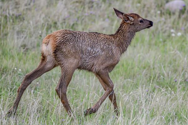 6-4-19 Baby Elk - Jasper Ab