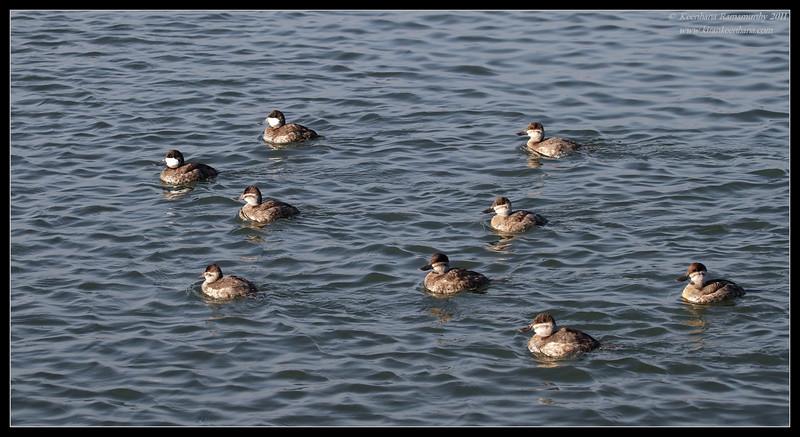 Ruddy ducks synchronous swimming, Bolsa Chica Ecological Reserve, Orange County, California, February 2011