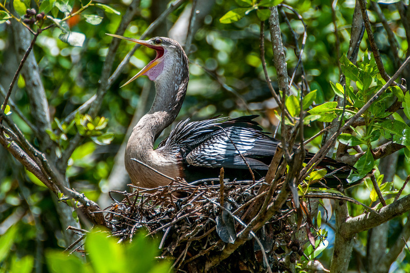 Heron in a nest in Mayan Riviera, Mexico